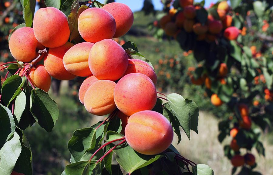 7E40_5-apricot-fruit-tree