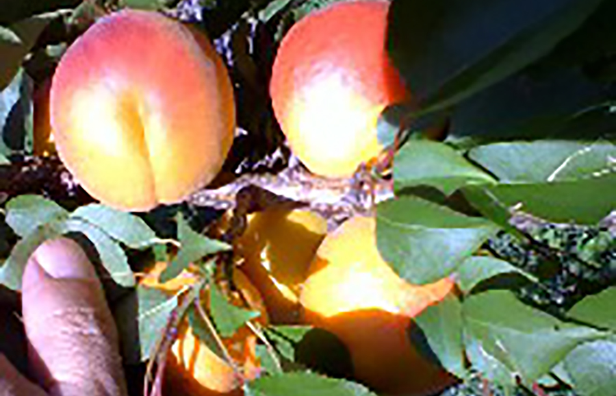 9C_58-6-18-12-08-apricot-fruit-tree