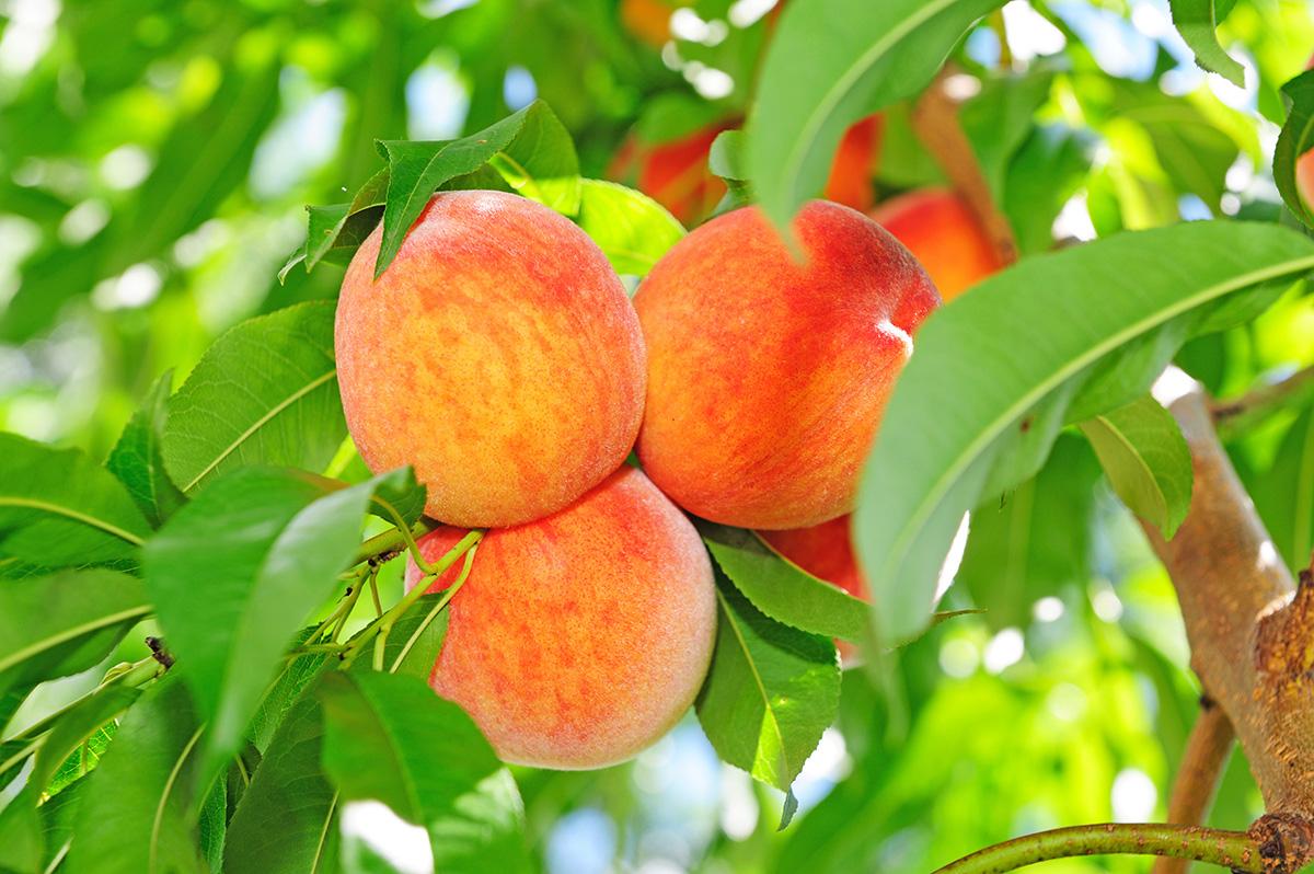 ANFIC Delightful Peach