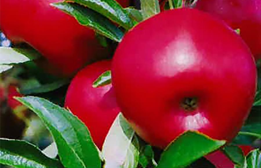 ANFIC-apple-NY2