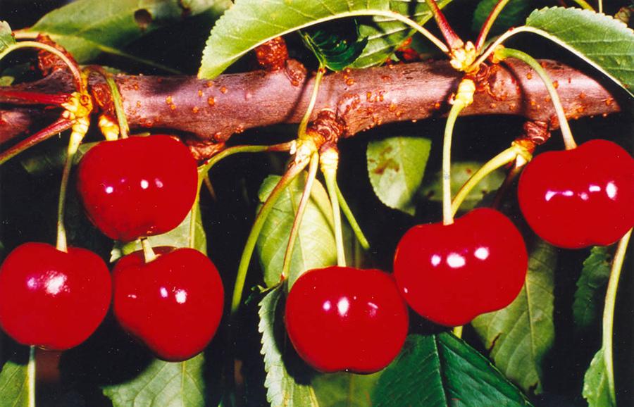 ANFIC-cherry-Australise-Arodel