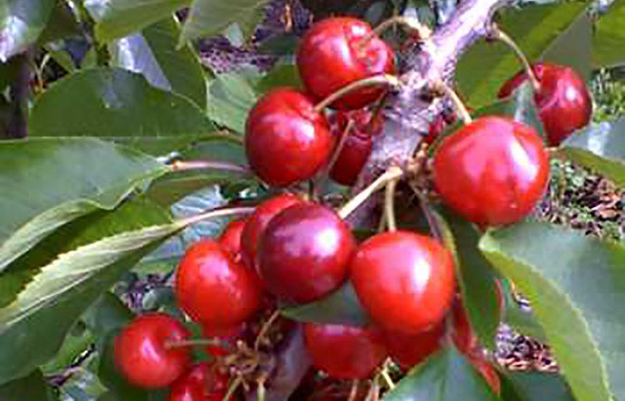 ANFIC-cherry-NY-2131