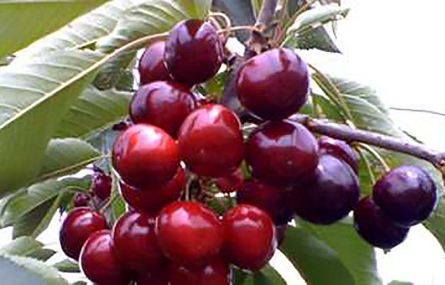 ANFIC-cherry-NY-270