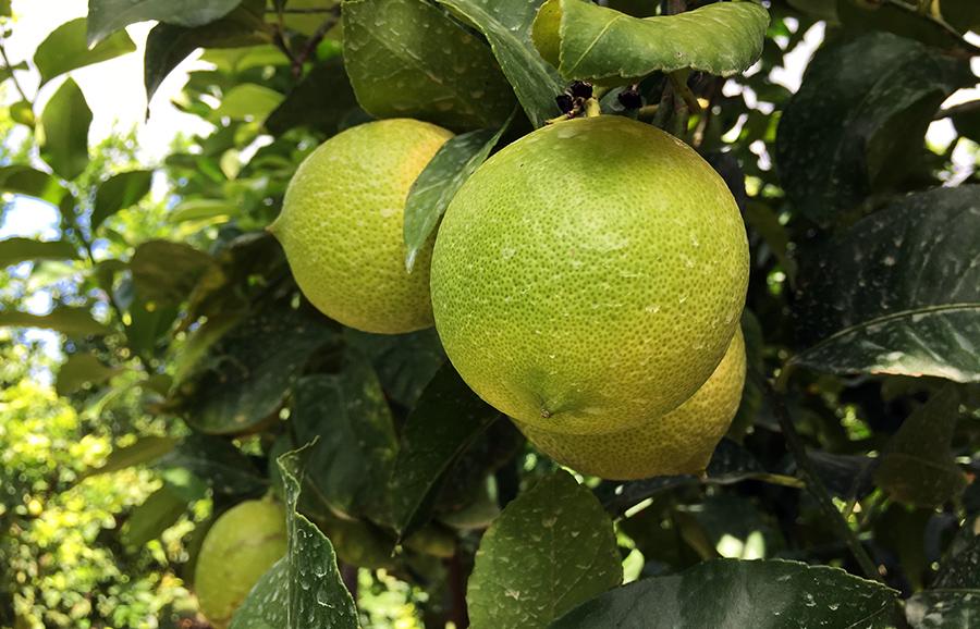 ANFIC-lemon-Eureka-seedless-lemon2