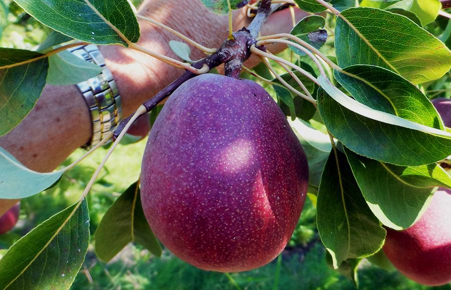 ANFIC-pear-Naumes-Inc-Red-dAnjou-fruit