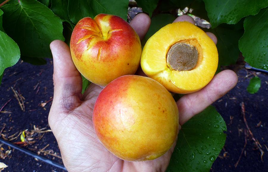 Adenza-apricot-fruit-tree
