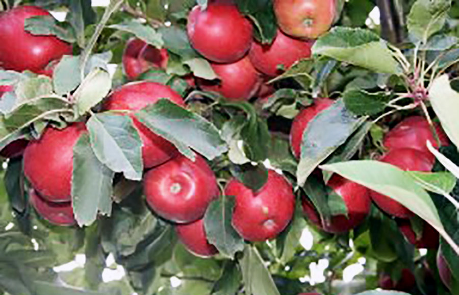 Apple Alvina Gala from ANFIC