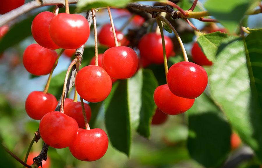 Dame-Nancy-cherry-variety
