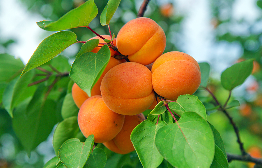 Early-Sun-apricot-fruit-tree