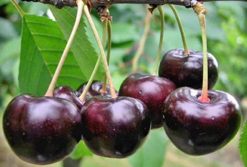 Elza cherry
