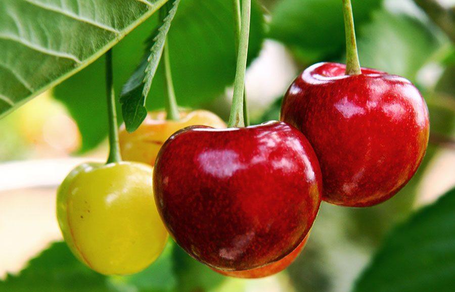 Fabiola-Cherry-cherry-variety