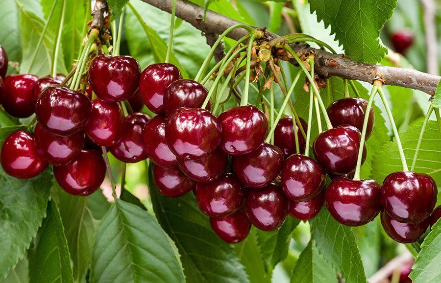 Glacier-cherry-variety