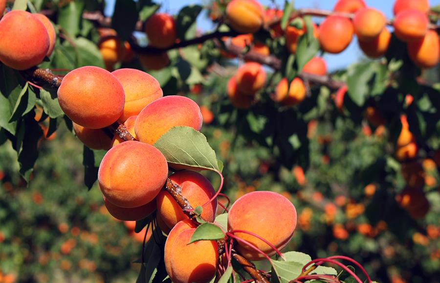Gold-Strike-apricot-fruit-tree