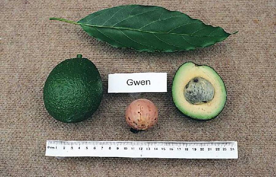 Gwen-avocado-fruit-tree-variety-anfic