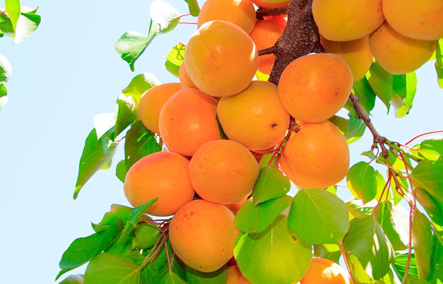 H80-77-apricot-fruit-tree