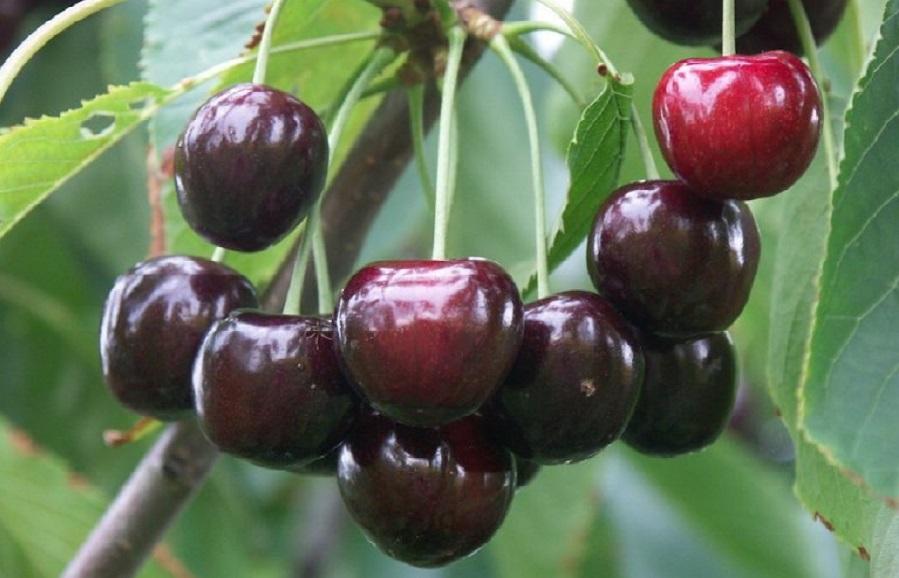 Irena cherry