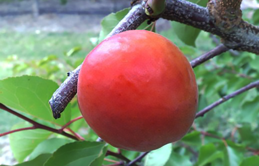 J21-107b-apricot-fruit-tree
