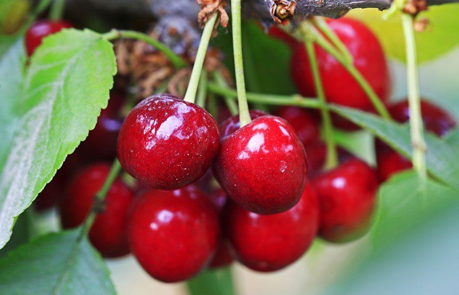 Kiona-cherry-variety