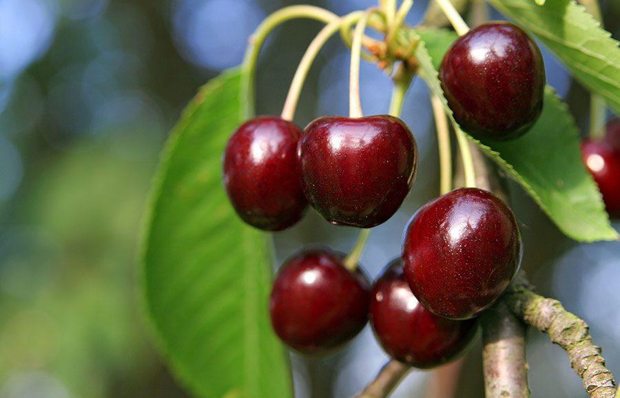 Korvick-cherry-variety