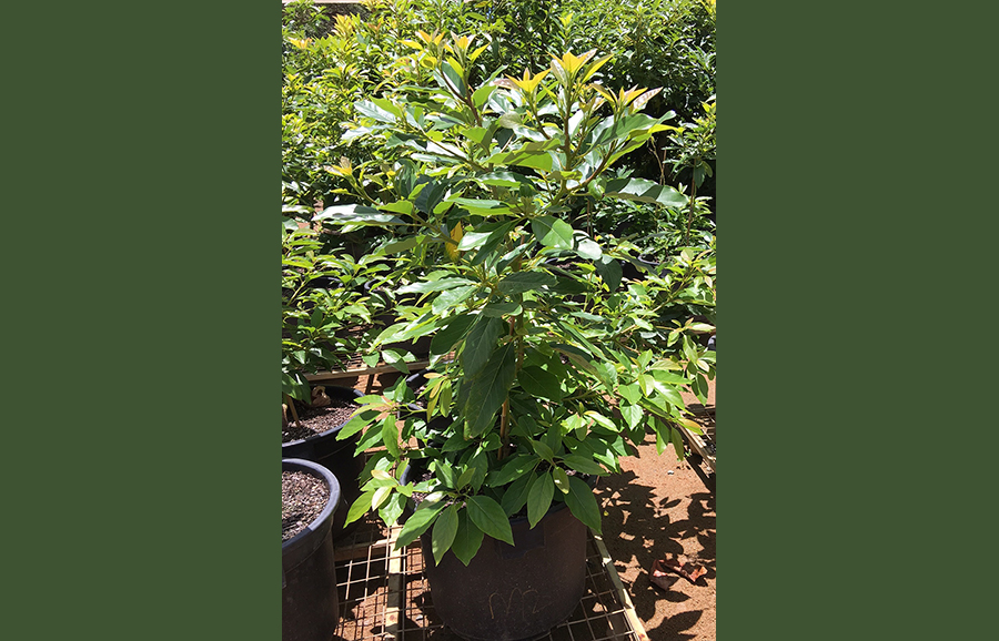 M2-Dusa_avocado-rootstock-variety-anfic