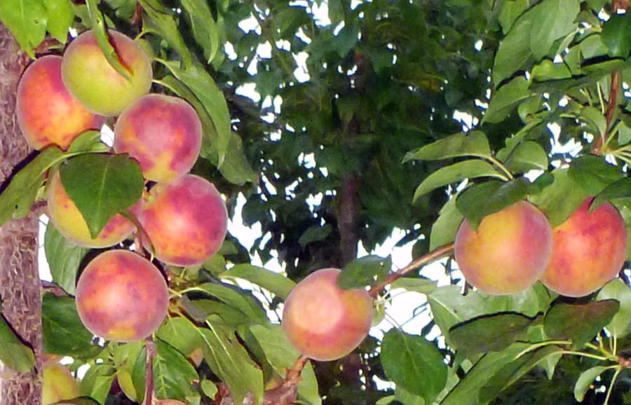 MG402-Emesh-plum-fruit-tree-variety-anfic3