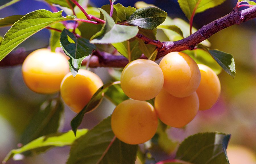 MGM-311-Dawn-apricot-fruit-tree