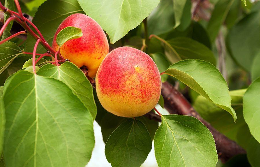 MGM-315-Hula-Blush-apricot-fruit-tree