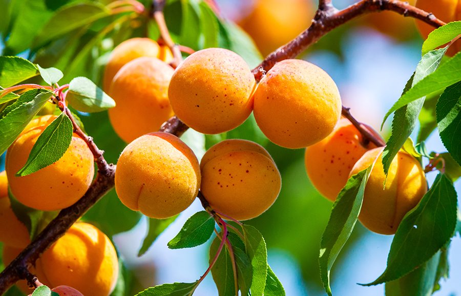 MGM-34_3-Red-Blush-apricot-fruit-tree