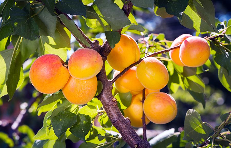 MGM123-apricot-fruit-tree