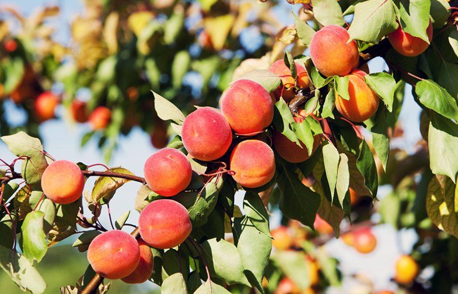 Magic-Cot-apricot-fruit-tree