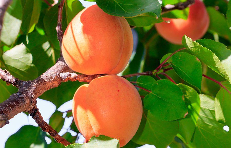 NJA-105-apricot-fruit-tree