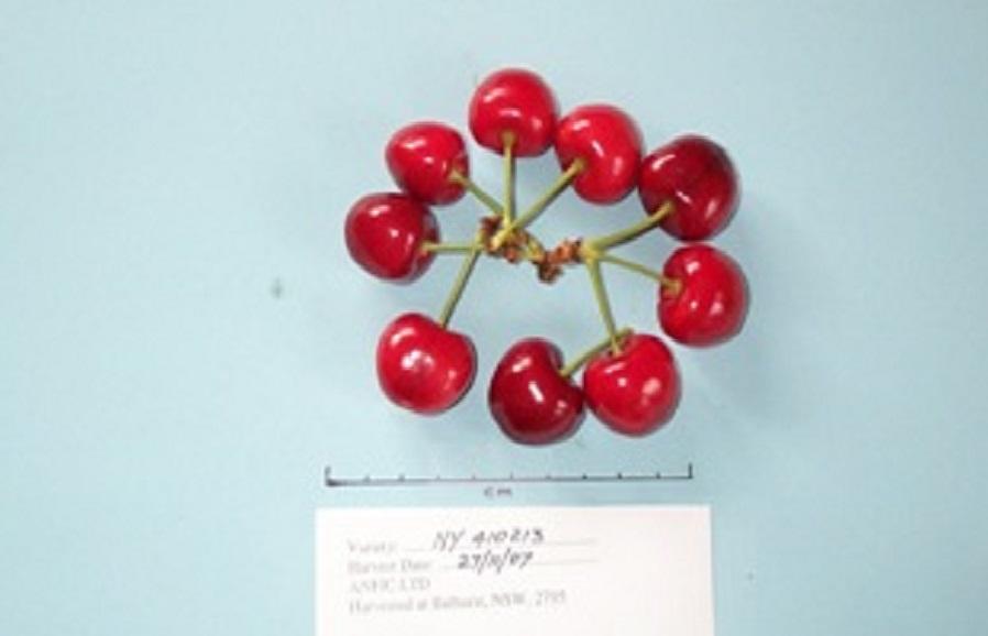 NY 410-213 cherry