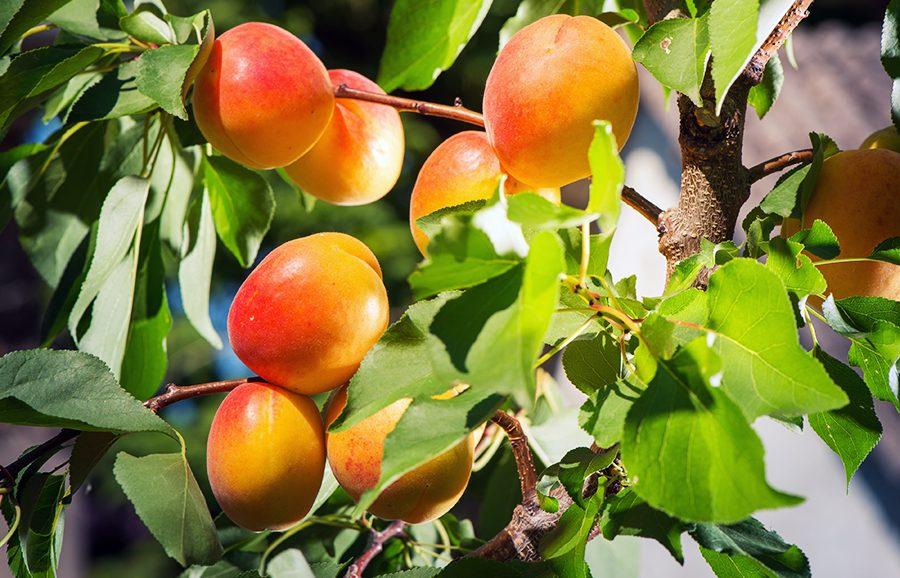 Orange-Red-apricot-fruit-tree