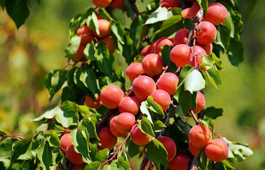 Perle-Cot-apricot-fruit-tree