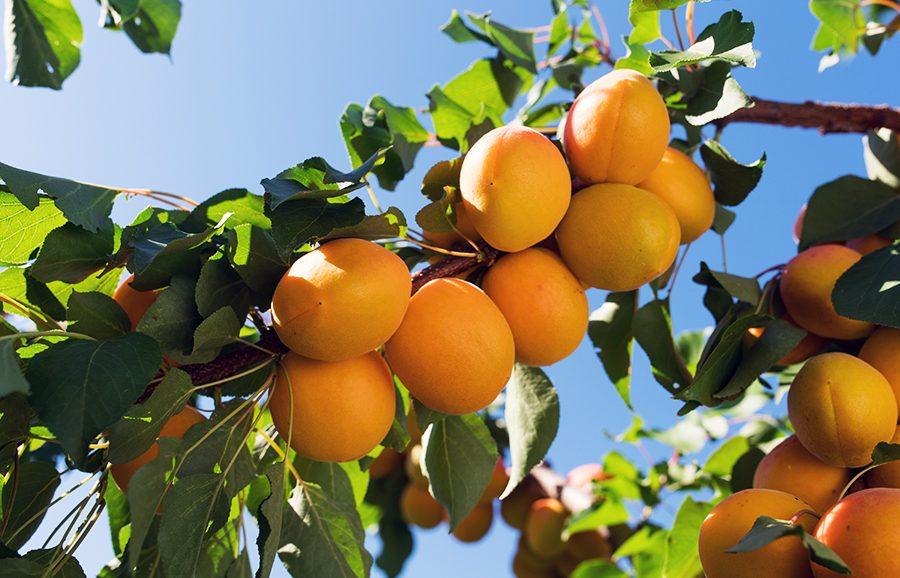 Pisana-apricot-fruit-tree