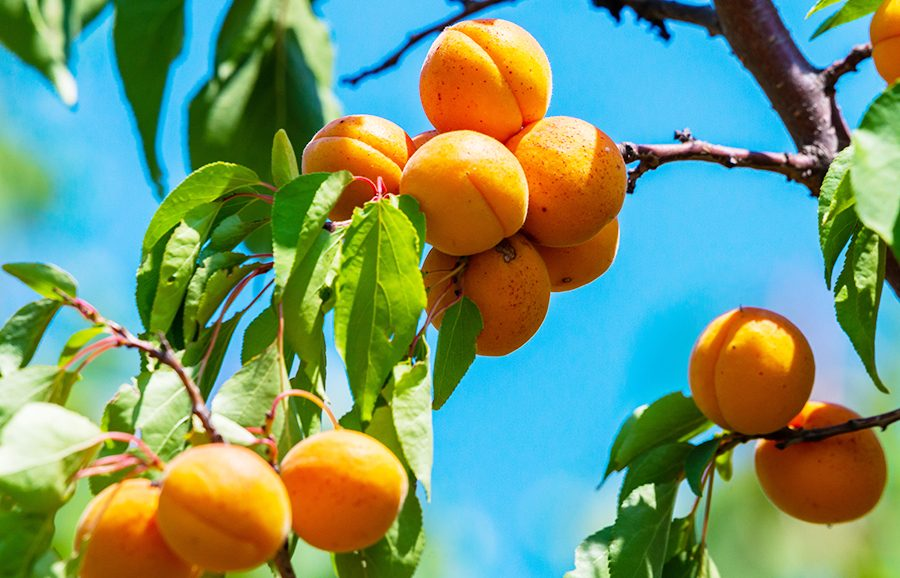 Solar-Fire-apricot-fruit-tree-variety-anfic