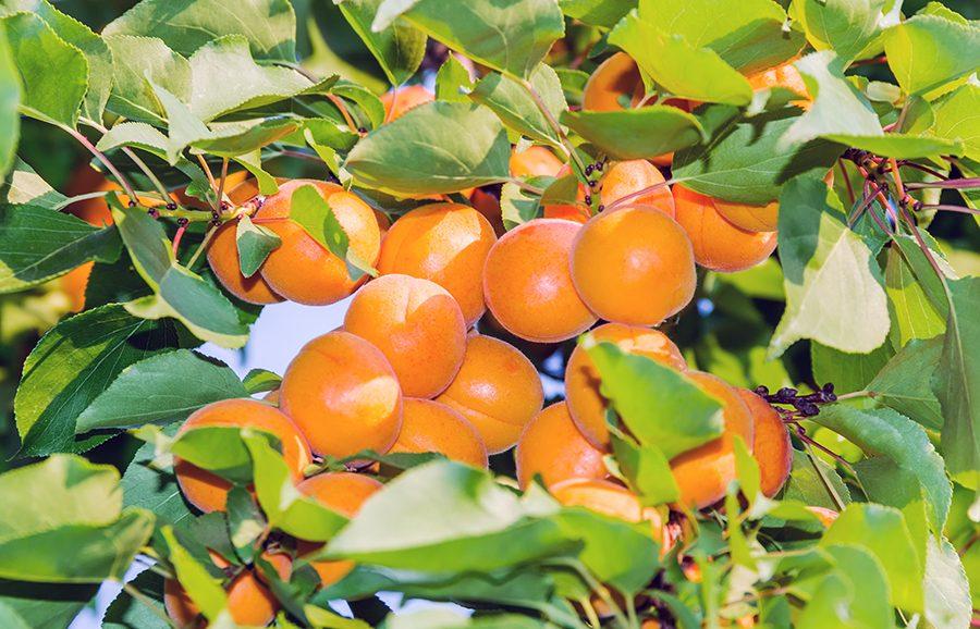 Solar-Glow-apricot-fruit-tree