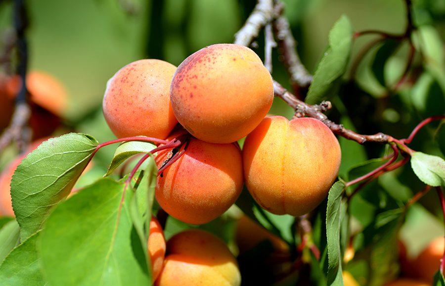 Solar-Mate-apricot-fruit-tree
