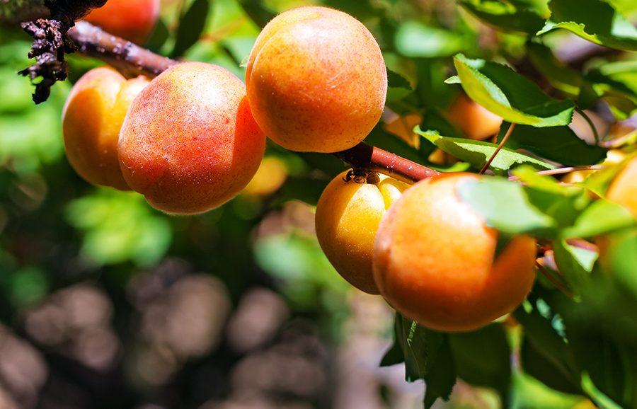 Solar-Sweet-apricot-fruit-tree