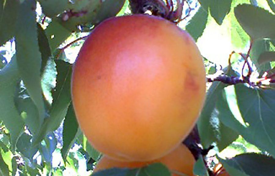 Solar_Gem-_Sweet-30-12-08-apricot-fruit-tree