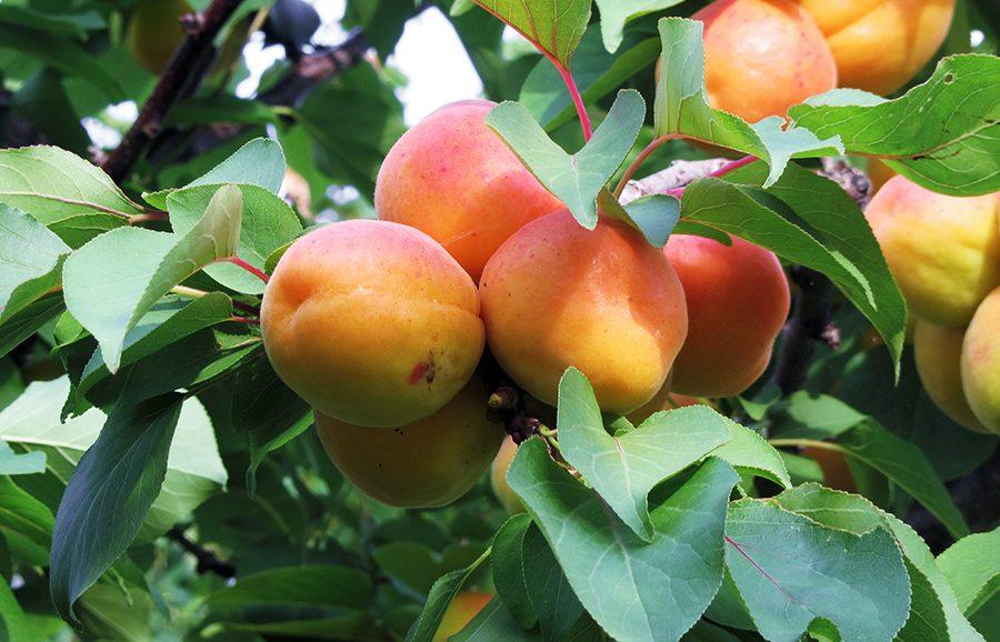 Wonder-Cot-apricot-fruit-tree