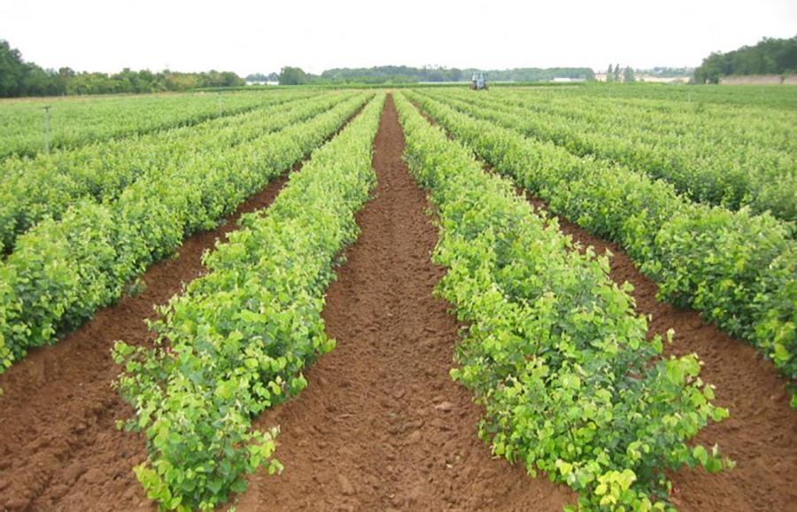 apple-rootstocks-varieties-anfic