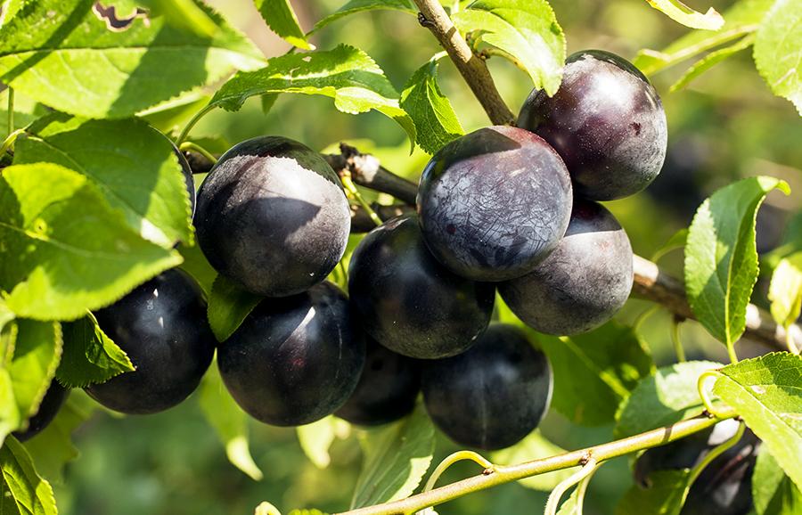 black_splendor_plum-fruit-tree-variety-anfic2