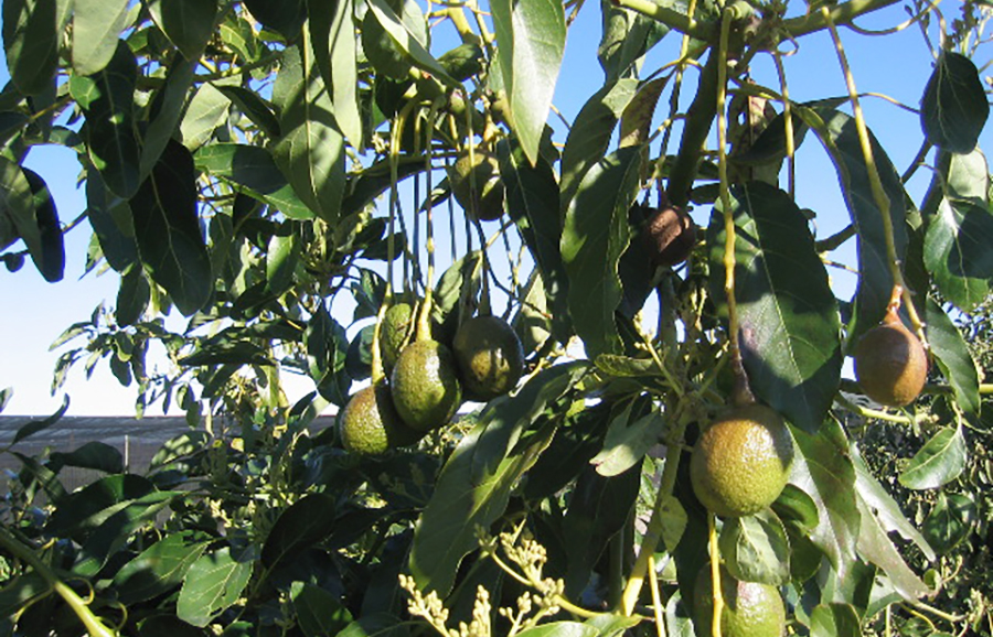 carmen-avocado-fruit-tree-variety-anfic
