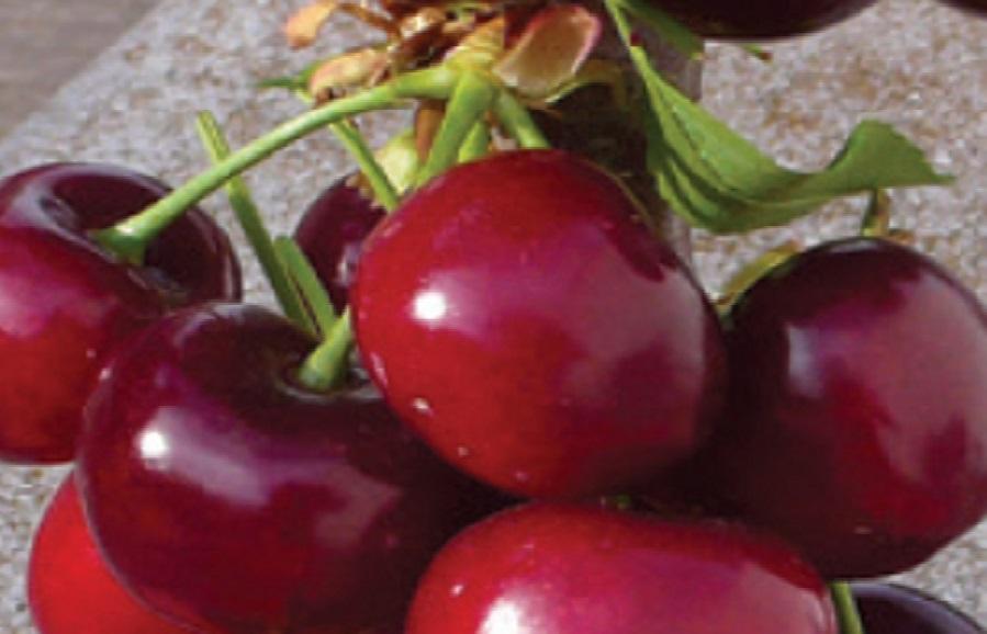 SMS 290 (Nimba) cherry