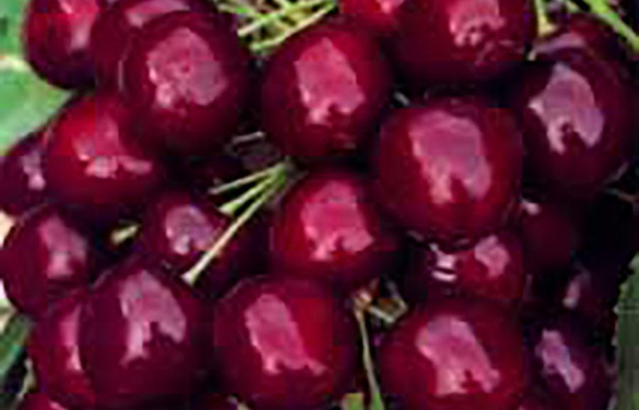 simcoe1-cherry-tree-variety