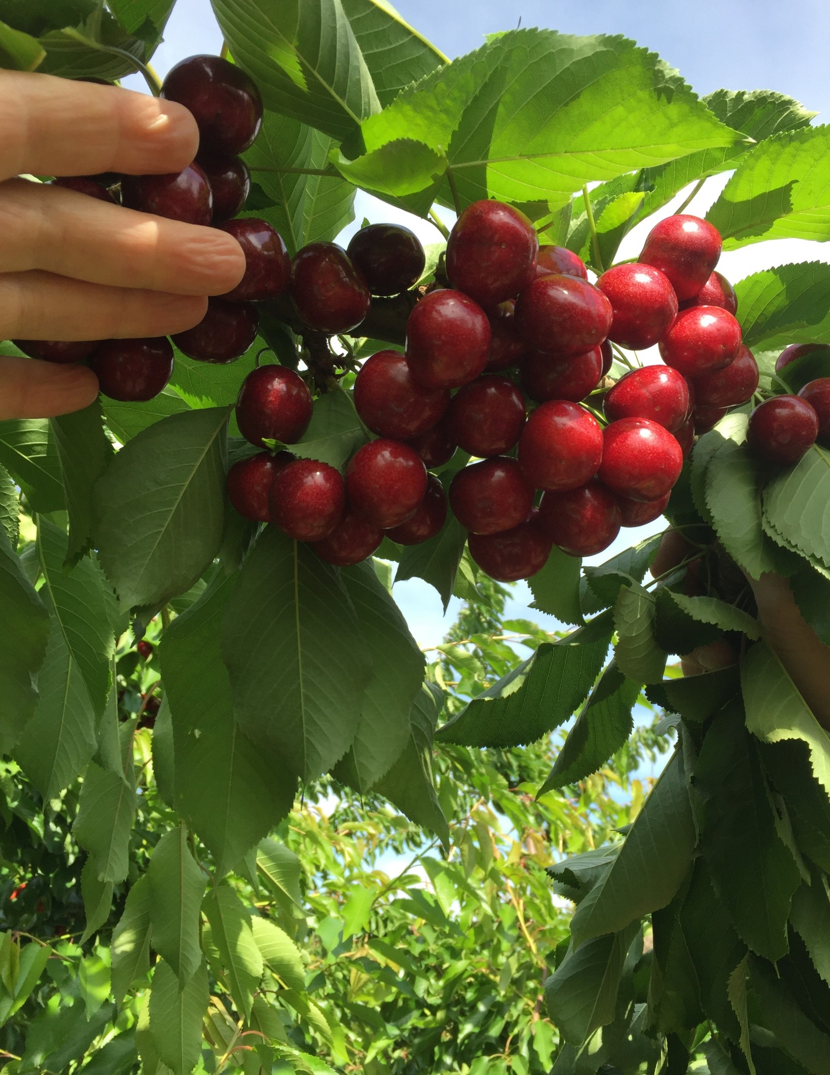 Cherry Sms