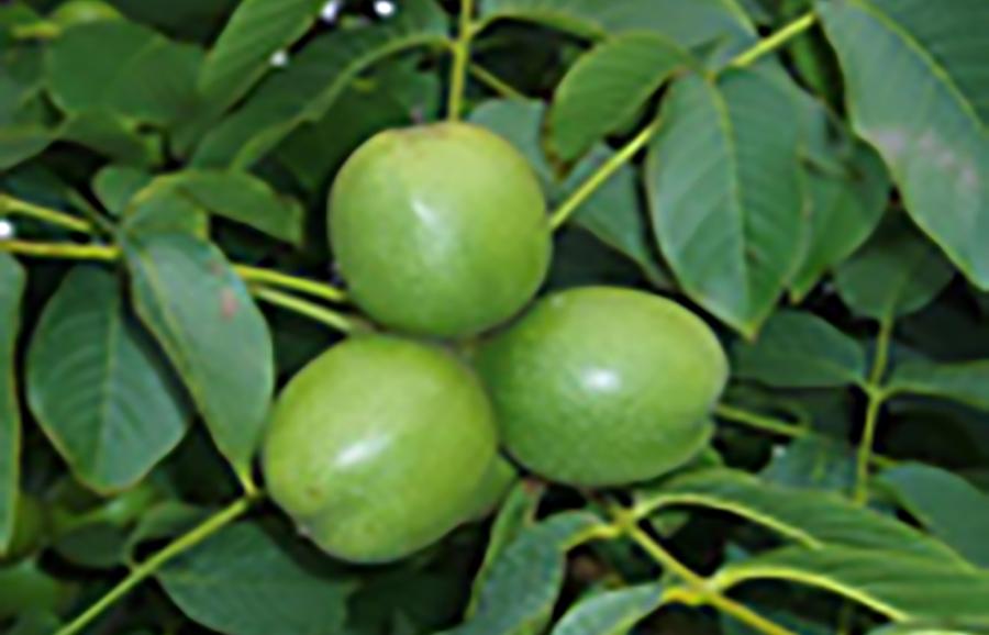 Tulare-walnut
