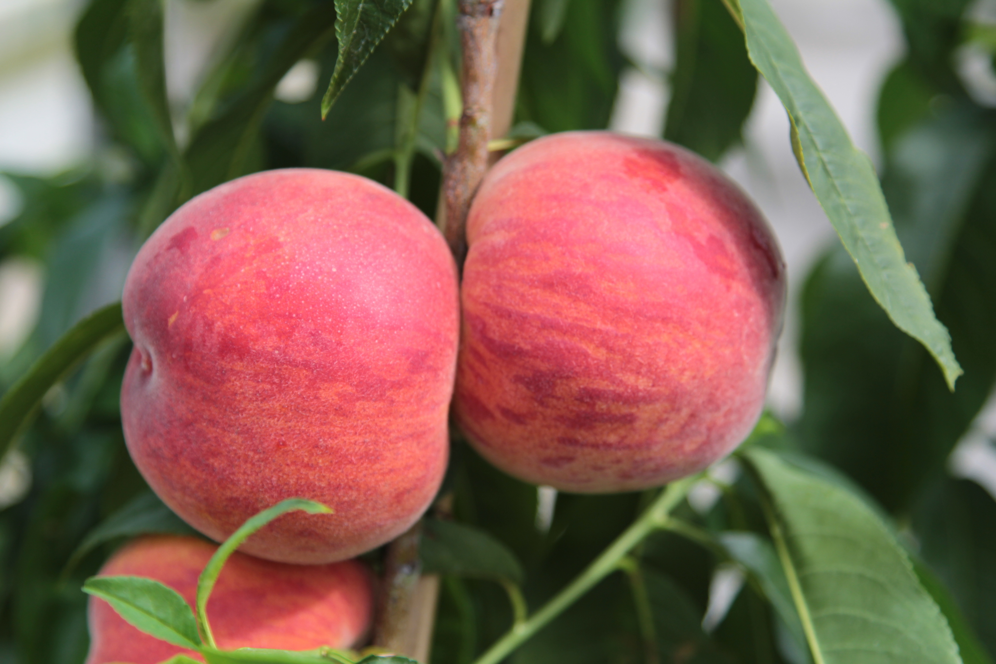 UF Beauty fruit on tree