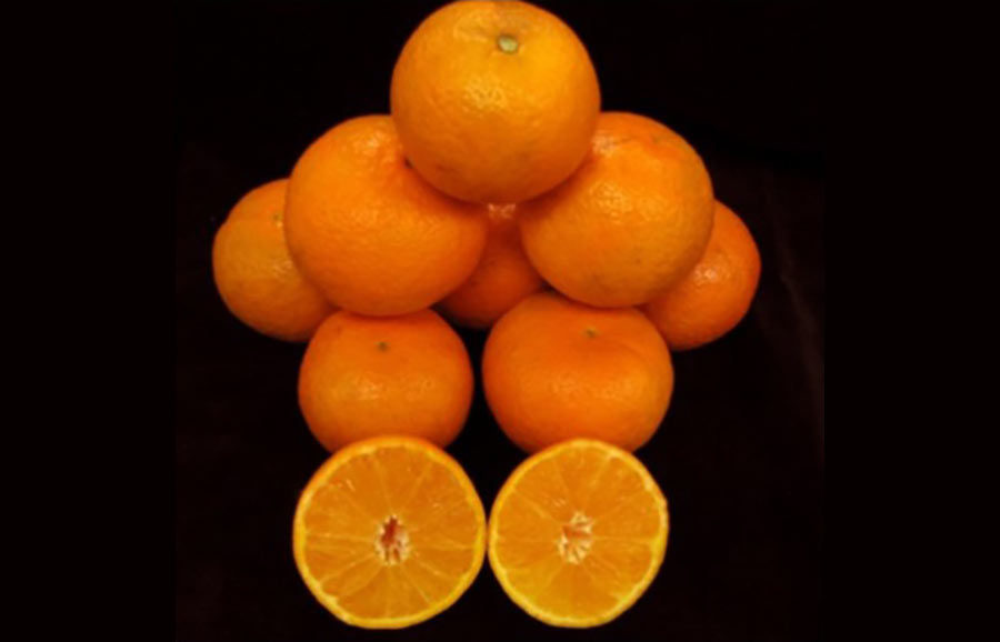UF N40W-6-3 (PBR) cv. Mandarin fruit-tree-variety